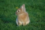 bebe lapin dans herbe